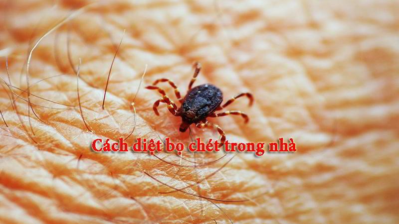 Cách diệt bọ chét trong nhà